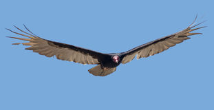 Turkey Vulture. In flight in Central America Stock Photos
