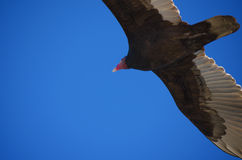 Turkey Vulture in Flight Closeup Royalty Free Stock Photo