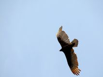 Turkey vulture in flight Stock Image