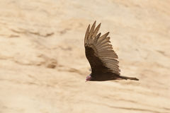 Turkey Vulture flying against sand cliff Stock Photography