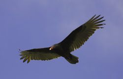 Turkey Vulture flying in blue sky Stock Photos