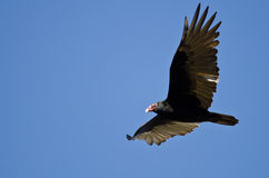 Turkey Vulture Flying in a Blue Sky Royalty Free Stock Photo