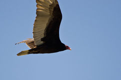 Turkey Vulture Flying in a Blue Sky Royalty Free Stock Image