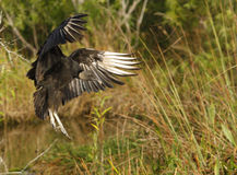 Turkey Vulture flying in a field Stock Images