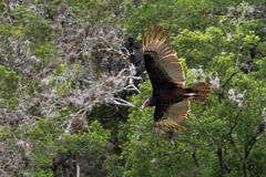 Turkey Vulture Inflight Royalty Free Stock Image