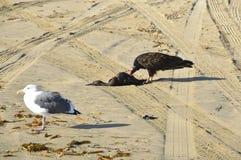 Turkey vulture Royalty Free Stock Photos