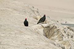Turkey Vulture in Lluta valley Royalty Free Stock Photos