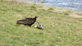 Turkey Vulture With a Meal. Turkey Vulture Having a Meal stock video
