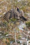 Turkey Vulture, Northern subspecies. Turkey Vulture (Cathartes aura septentrionalis), Northern subspecies, sunning with wings spread in the Everglades National Royalty Free Stock Image