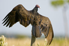 A Turkey Vulture perched. On a fence post with his wings spread Stock Photo