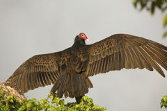 Turkey vulture perched in a tree in the Florida Everglades. Turkey vulture, Cathartes aura, perched on top of a dead branch with its wings outspread in the Stock Image
