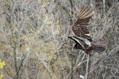Turkey Vulture Ready To Fly Stock Photos