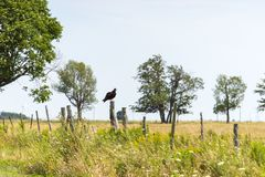 A turkey vulture rests on a fence post royalty free stock photo