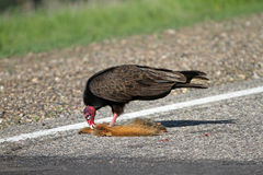 Turkey Vulture and Road Kill Stock Image