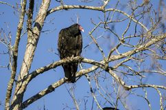 Turkey Vulture Roost, Georgia, USA. Red headed Turkey Vulture, Cathartes aura, carrion crow, perched in roost dead tree. Athens, Clarke County, Georgia. USA Stock Images