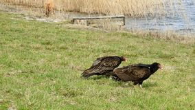Turkey Vulture`s With a Meal. Turkey Vulture`s Having a Meal stock footage