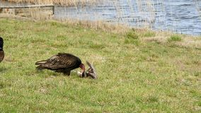 Turkey vulture`s with a meal stock video footage