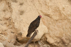 Turkey Vulture sitting against sand cliff Royalty Free Stock Photography