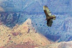 Turkey Vulture Stock Photography