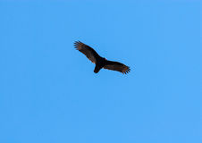 Turkey vulture soaring with outstretched wings on clear blue sky Royalty Free Stock Photo