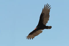 Turkey Vulture Soaring in the Sky Stock Photo