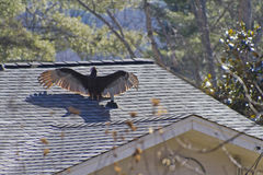 Turkey Vulture Speads Its Wings on a Roof Top Royalty Free Stock Images