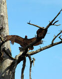 Turkey vulture spreading wings Royalty Free Stock Photo