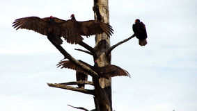 Turkey vulture spreading wings Royalty Free Stock Photos