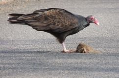 Turkey Vulture stopping to  feed on a small road kill along the high way. This is a familiar sight while living in the country. Turkey Vultures and other birds Royalty Free Stock Images