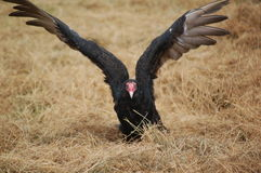 Turkey Vulture Royalty Free Stock Photography