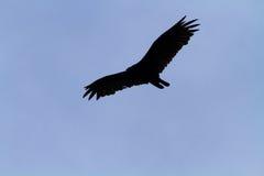 Turkey Vulture Turkey Buzzard in Flight Stock Image