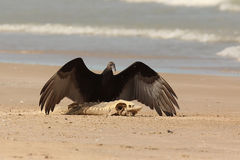 Turkey Vulture with a Washed Up Sturgeon. Immature Turkey Vulture (Cathartes aura) with Wings Spread Standing on a Dead Lake Sturgeon (Acipenser fulvescens) Royalty Free Stock Photography