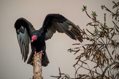 Turkey Vulture wings open perched in motion (latin name Catharses aura) Stock Photo