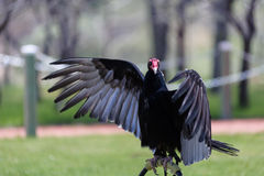 Turkey Vulture wings open perched Royalty Free Stock Photos