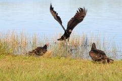 Free Turkey Vultures Royalty Free Stock Photos - 12249328