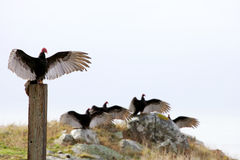 Turkey vultures Stock Image