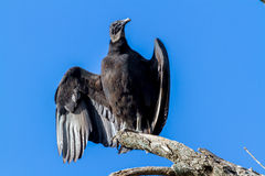 Turkey Vultures, or Buzzards Royalty Free Stock Photos