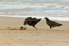 Turkey Vultures Competing for a Dead Lake Sturgeon Royalty Free Stock Images