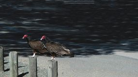Turkey Vultures Deciding When to Eat. San Luis Obispo, California Stock Photos
