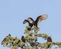 Turkey vultures fighting royalty free stock photo