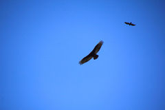 Turkey Vultures Hunting Royalty Free Stock Photo
