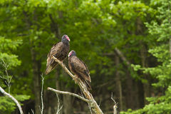 Turkey vultures pair Stock Image