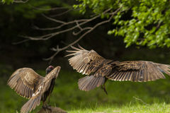 Turkey vultures pair Stock Photography