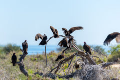 Turkey vultures perched on a dead branch in the Mexican deset Stock Image