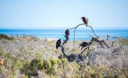 Turkey vultures perched on a dead branch in the Mexican deset Royalty Free Stock Photography