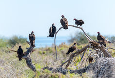 Turkey vultures perched on a dead branch in the Mexican deset Royalty Free Stock Photo