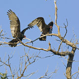 Turkey Vultures ready to fly Stock Image