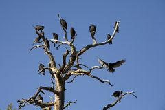 Turkey Vultures Roosting In A Snag Royalty Free Stock Photos