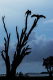 Turkey Vultures silhouette. A silhouette of two Turkey Vultures, Cathartes aura, sitting on the top of a stunted tree Royalty Free Stock Photography