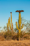 Turkey vultures sitting on cactus and dry their wi Royalty Free Stock Image